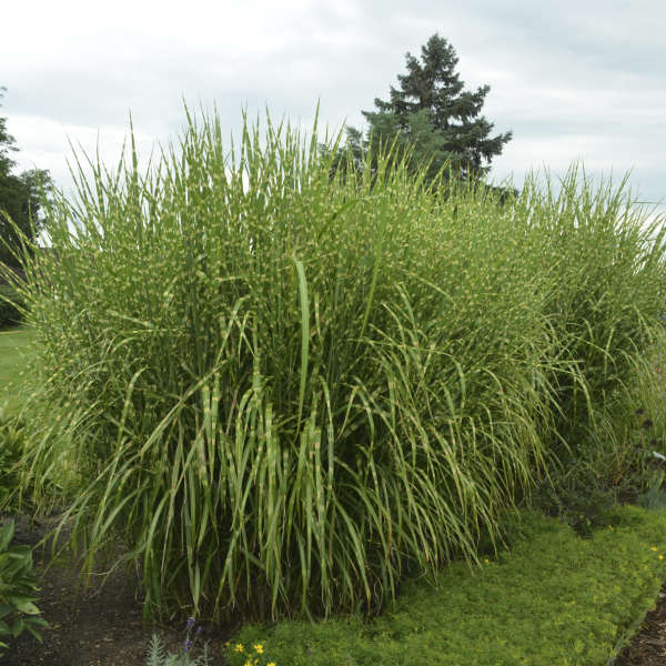 Miscanthus 'Strictus' Porcupine Grass