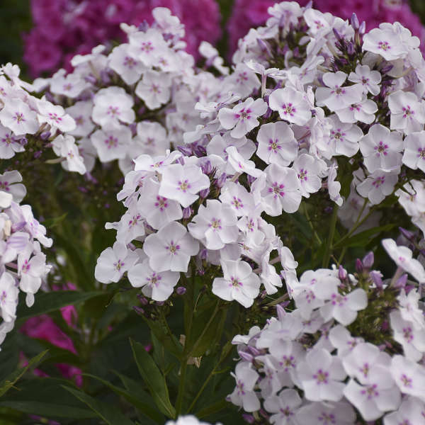 Phlox 'Party Girl' Tall Garden Phlox