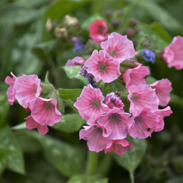 Pulmonaria 'Pretty in Pink' Lungwort