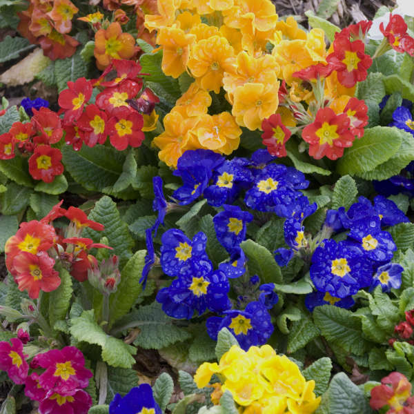 Primula 'Pacific Hybrids' English Primrose