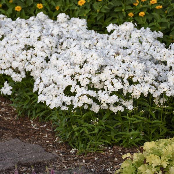 Phlox 'Opening Act White' Hybrid Phlox