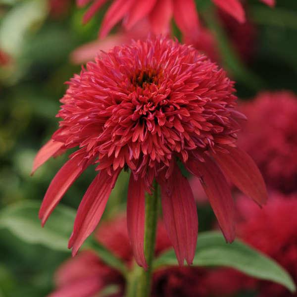 Echinacea DOUBLE SCOOP&#8482 CRANBERRY Coneflower
