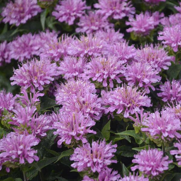 Monarda 'Pardon My Lavender' Bee Balm