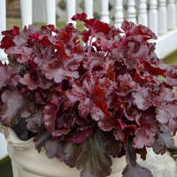 Heuchera 'Cherry Truffles'