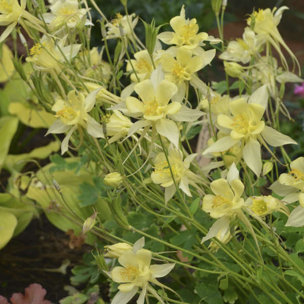 Aquilegia 'Goldfinch' Columbine