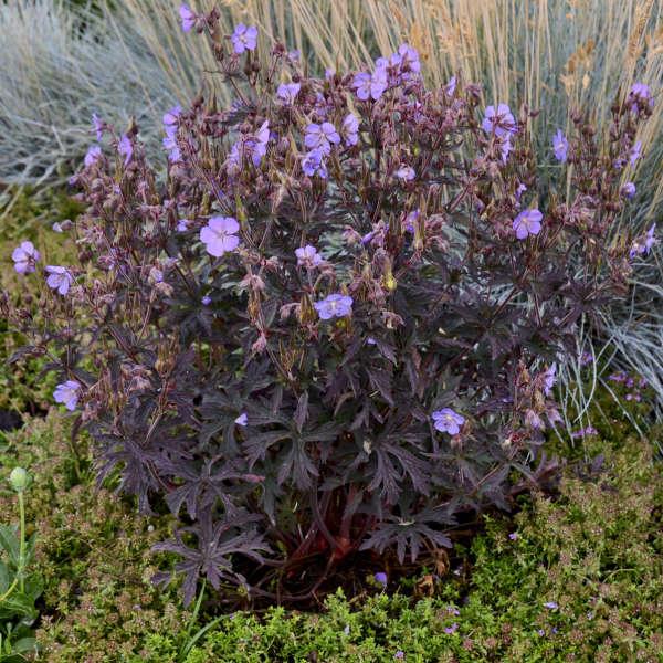 Geranium 'Dark Reiter' Hardy Geranium