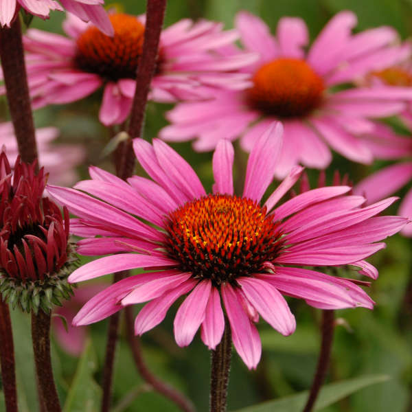 Echinacea 'Fatal Attraction' Purple Coneflower