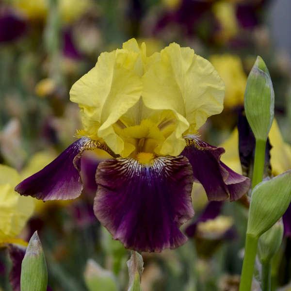 Iris 'Blatant' Tall Bearded Iris