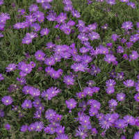 Delosperma TABLE MOUNTAIN®
