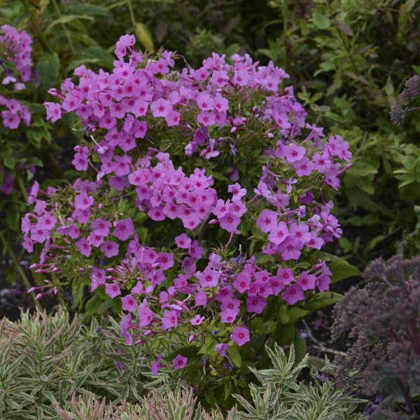 Phlox FLAME™ Series Pink Tall Garden Phlox