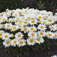 Leucanthemum 'Cream Puff'