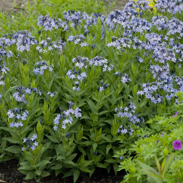 Amsonia 'Blue Ice' Blue Star