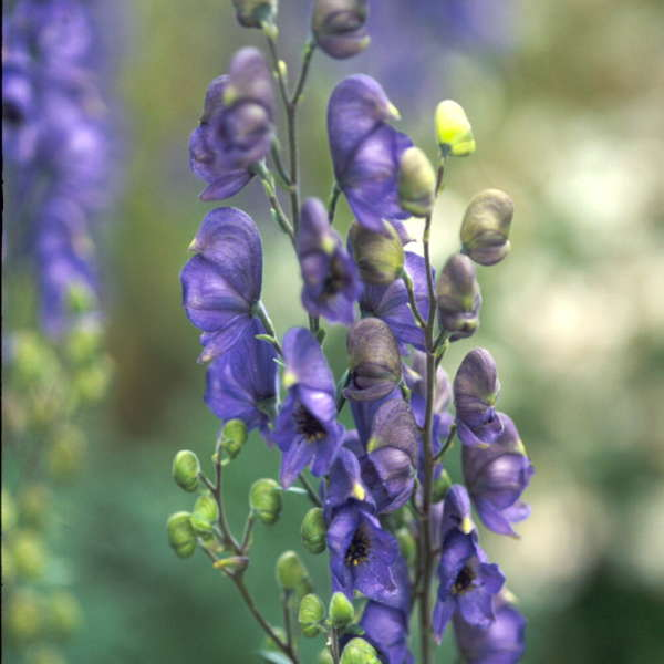 Aconitum napellus Common Monkshood