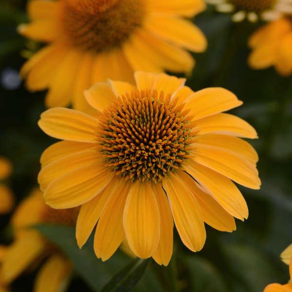 Echinacea SOMBRERO® Granada Gold Coneflower