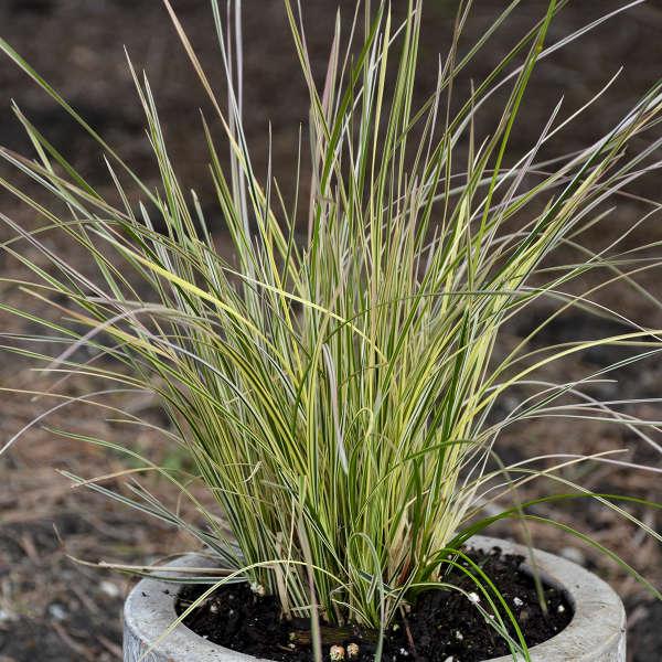 Deschampsia 'Northern Lights' Tufted Hair Grass