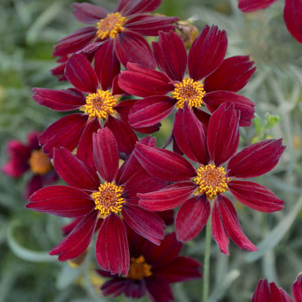 Coreopsis 'Red Satin' Threadleaf Coreopsis