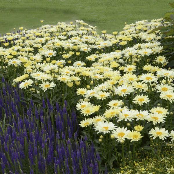 Leucanthemum 'Banana Cream' Shasta Daisy
