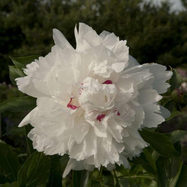 Paeonia 'Festiva Maxima' Garden Peony