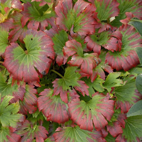 Mukdenia 'Karasuba' Red Leafed Mukdenia