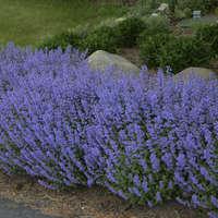 Nepeta 'Purrsian Blue'