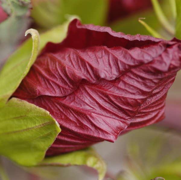Hibiscus 'Fireball' Rose Mallow