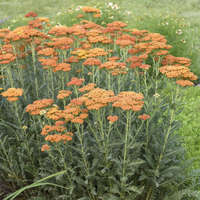 Achillea 'Sassy Summer Sunset'