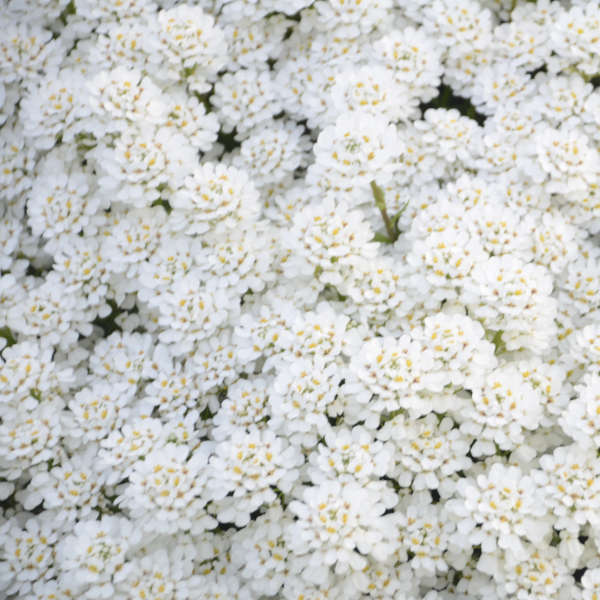 Iberis 'Snowball' Evergreen Candytuft