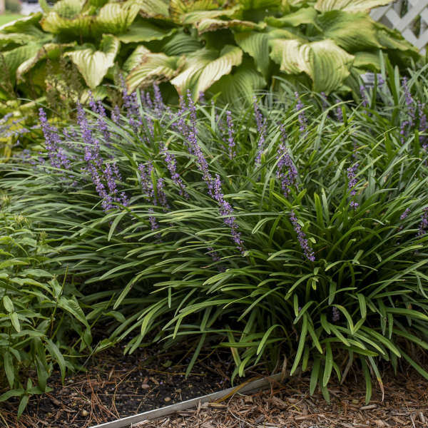 Liriope 'Big Blue' Blue Lily-turf