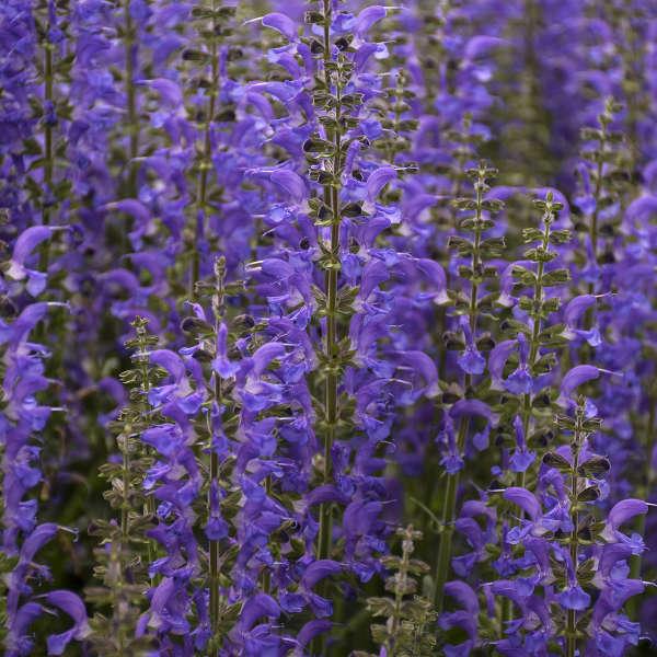 Salvia 'Indiglo Girl' Perennial Salvia