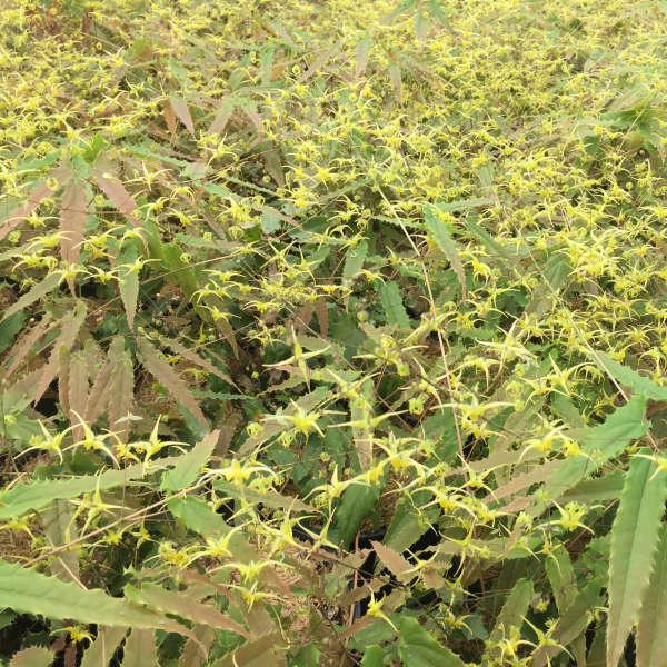 Epimedium ssp  nova 'Spine Tingler'   Walters Gardens, Inc