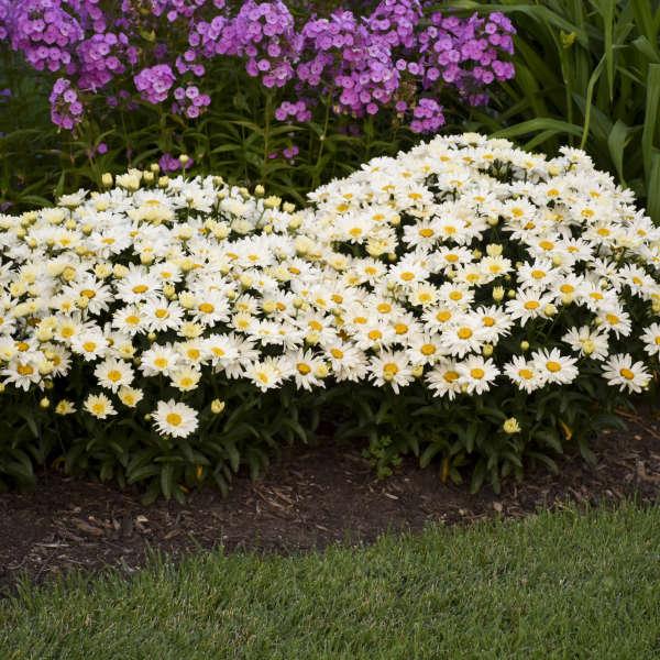 Leucanthemum 'Spoonful of Sugar' Shasta Daisy