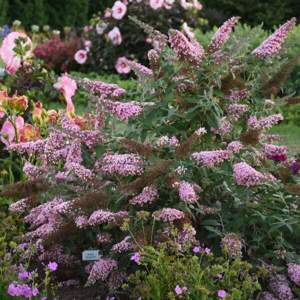 Buddleia 'Princess Pink' Butterfly Bush