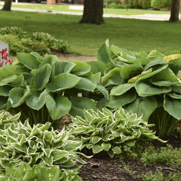 Hosta 'Empress Wu' Hosta