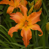 Hemerocallis 'Primal Scream'