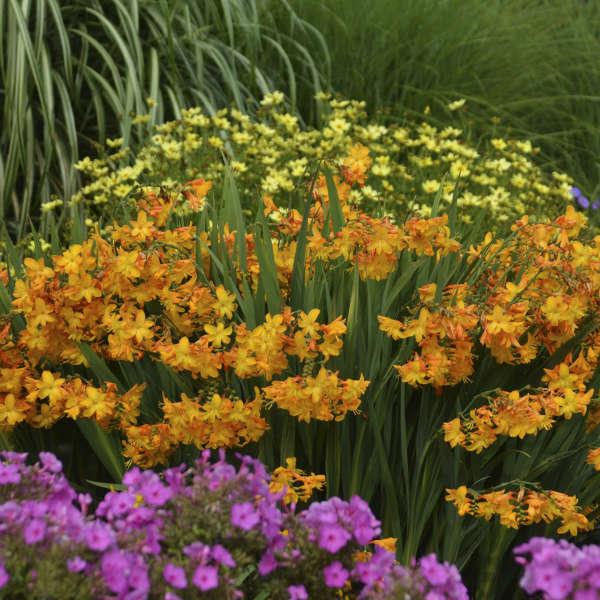 Crocosmia 'Walberton Yellow' Montbretia