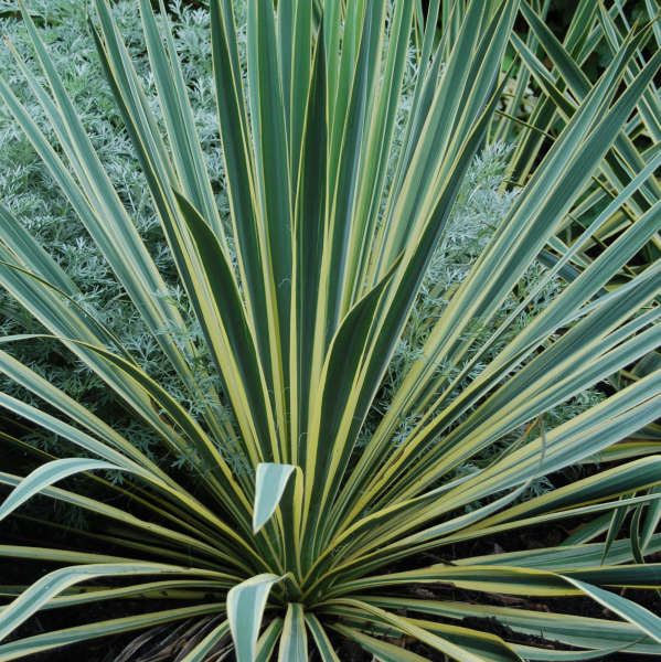 Yucca 'Bright Edge' Adam's Needle