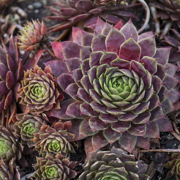 Sempervivum 'Peggy' Hen & Chicks