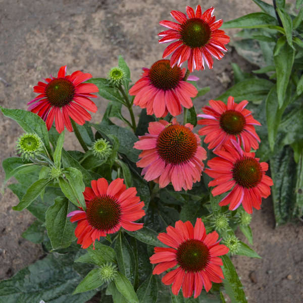 Echinacea 'Frankly Scarlet' Coneflower
