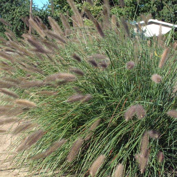 Pennisetum 'Foxtrot' Giant Fountain Grass