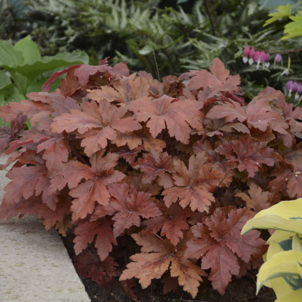 Heucherella 'Hopscotch' Foamy Bells