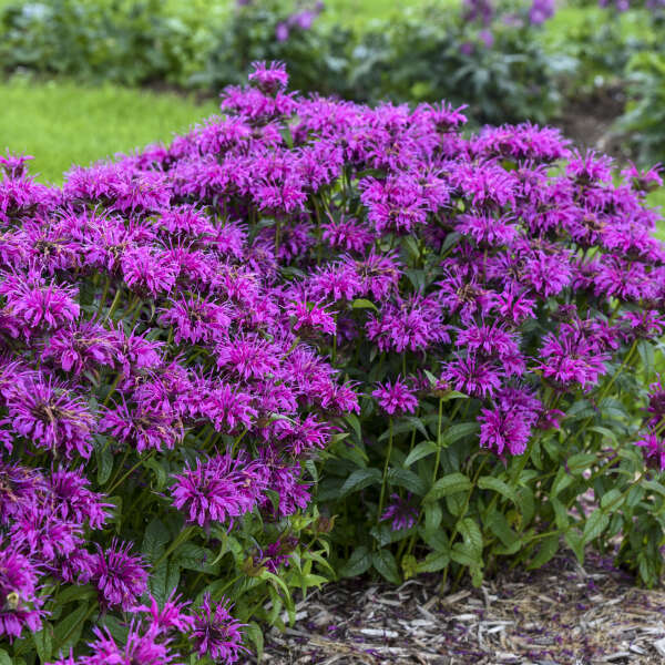Monarda 'Electric Neon Purple' Bee Balm