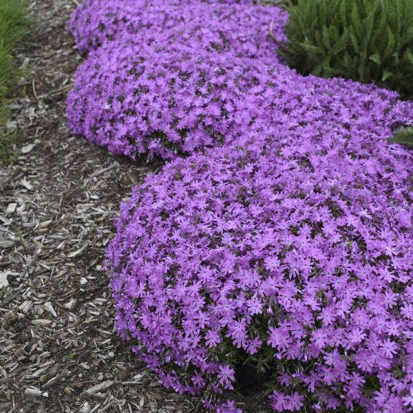 Phlox 'Bedazzled Pink' Hybrid Spring Phlox