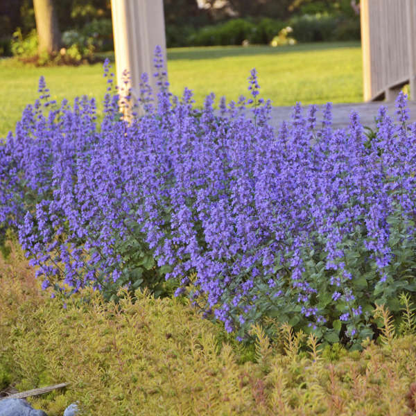 Nepeta 'Cat's Meow' Catmint