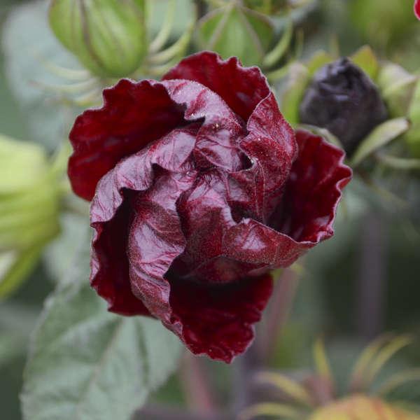 Hibiscus vintage wine pp27839 walters gardens inc download images mightylinksfo