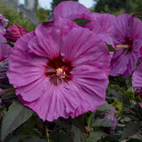 Hibiscus 'Berry Awesome'