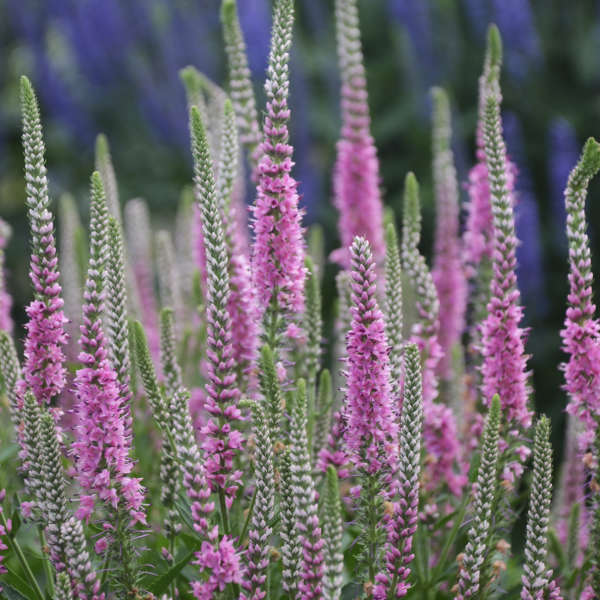 Veronica 'Perfectly Picasso' Spike Speedwell
