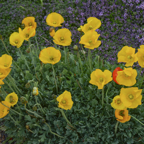 Papaver Summer Breeze Series - Yellow Poppy