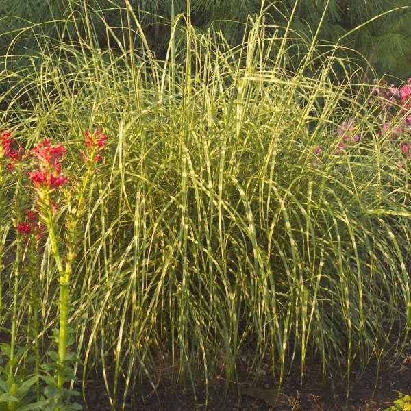 Miscanthus 'Little Zebra' Dwarf Zebra Grass