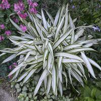 Carex 'Snow Cap'