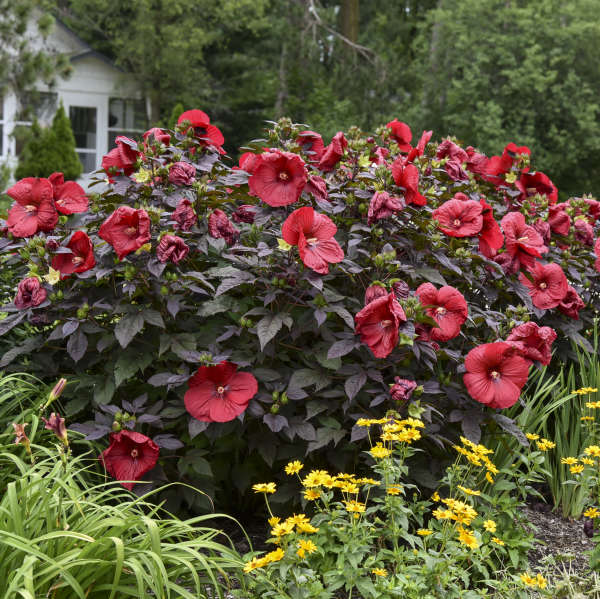 Hibiscus 'Holy Grail' Rose Mallow